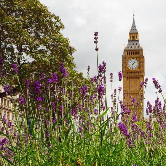 Big Ben, London | lavender