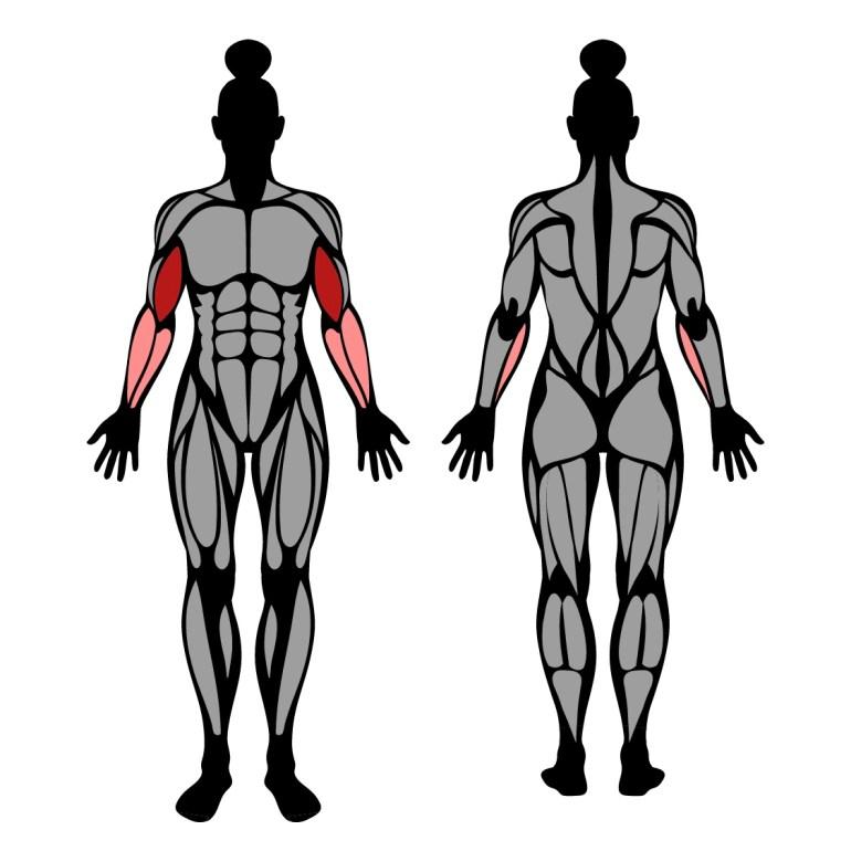Muskler som tränas av hantelcurl