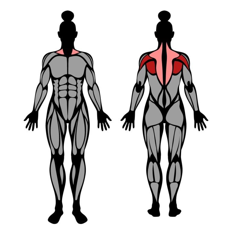 Muskler som tränas av omvänd hantelrodd
