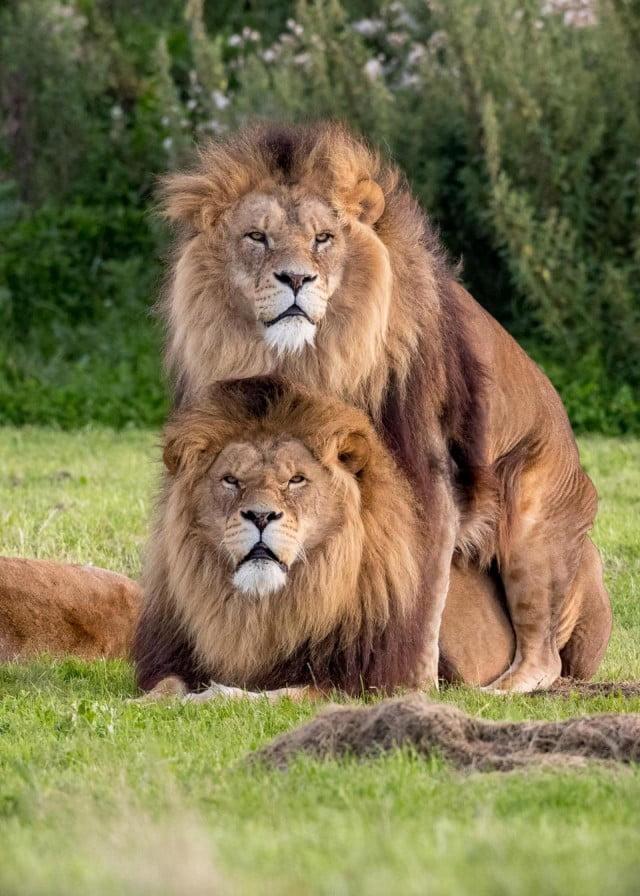 Warga Kuala Panduk Dikejutkan Dengan Binatang Singa