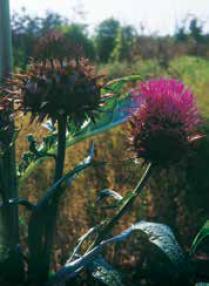 burdock inflorescence