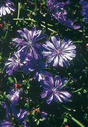 chicory inflorescence
