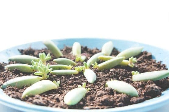 Succulent Propagation for Beginners