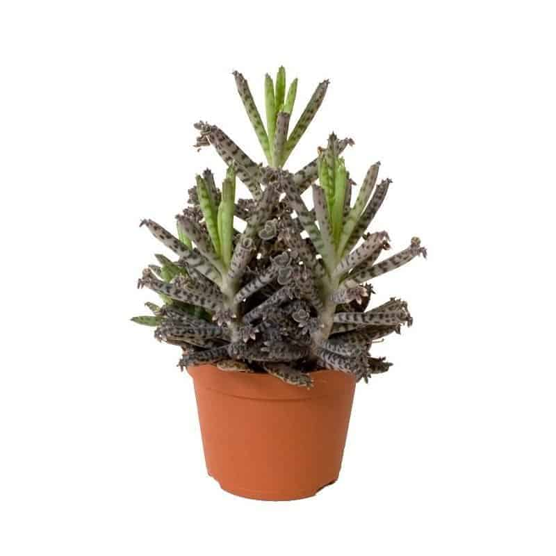 Kalanchoe tubiflora – Mother of Millions