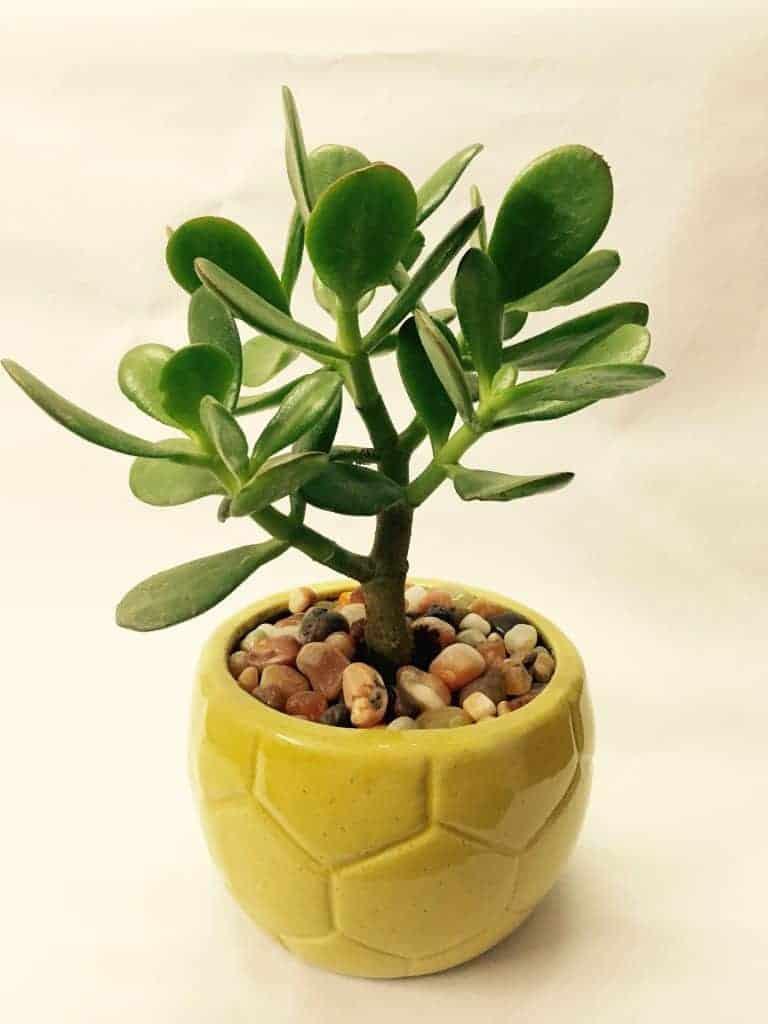 Jade Plant Care (Crassula ovata)