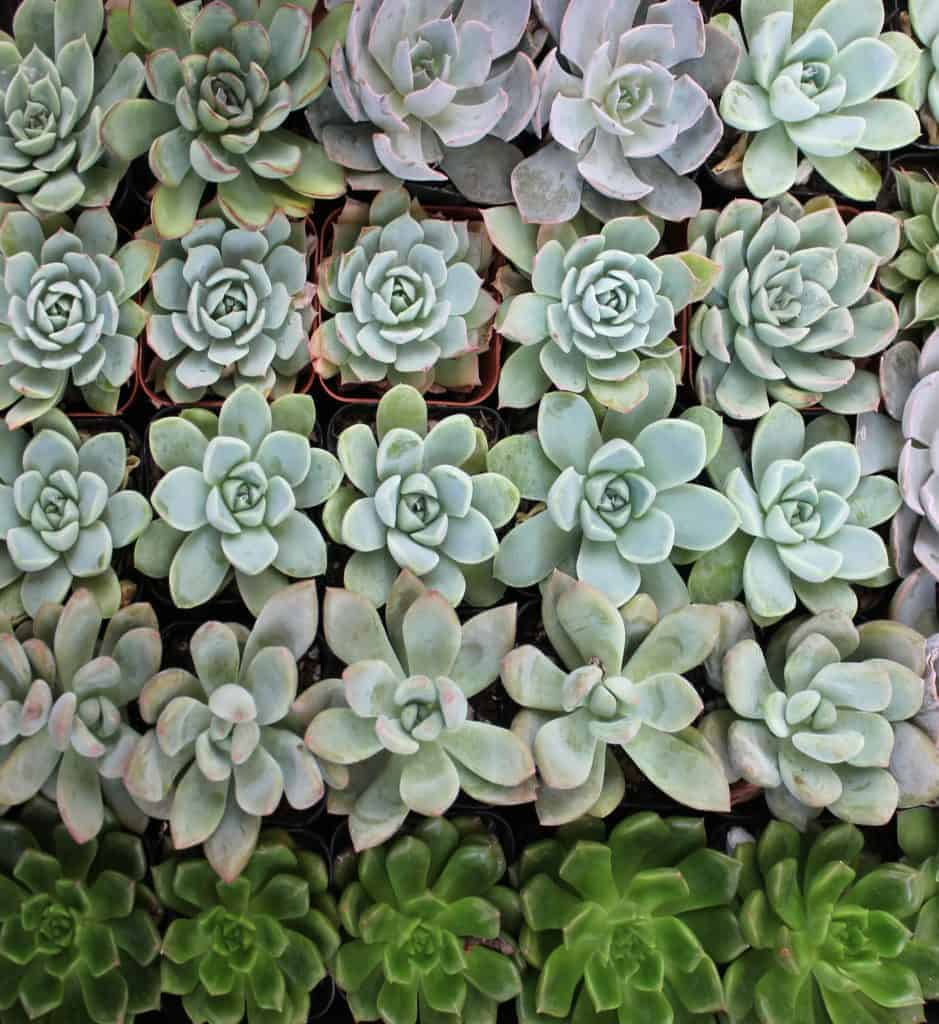 Purchasing Wholesale Succulents for Businesses and Landscaping