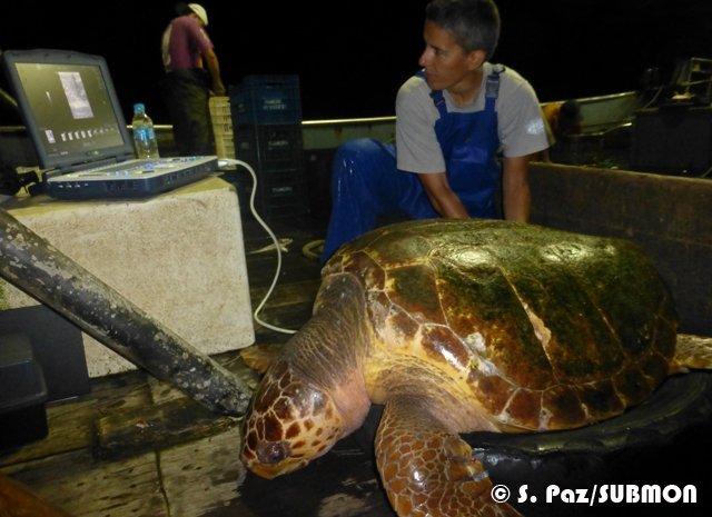 Estudio de la incidencia de la enfermedad por descompresión en tortugas marinas capturadas incidentalmente por arrastre