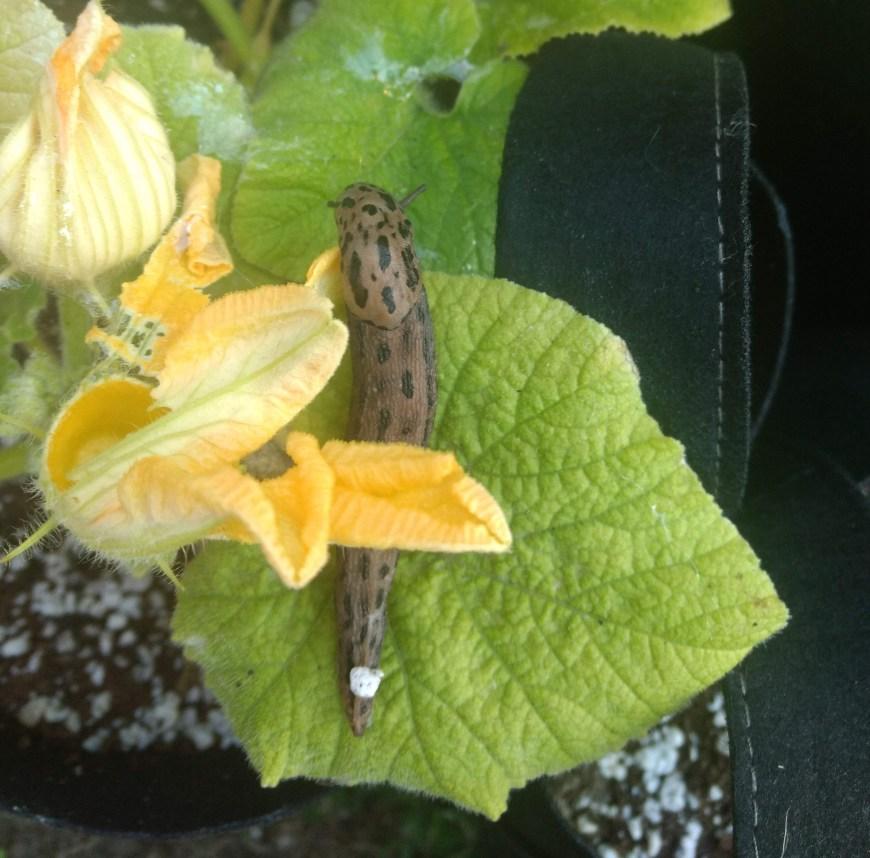 gray leopard slug enjoying our pumpkin plants