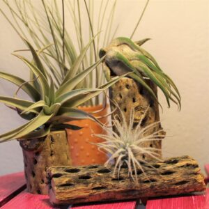 airplants on cholla