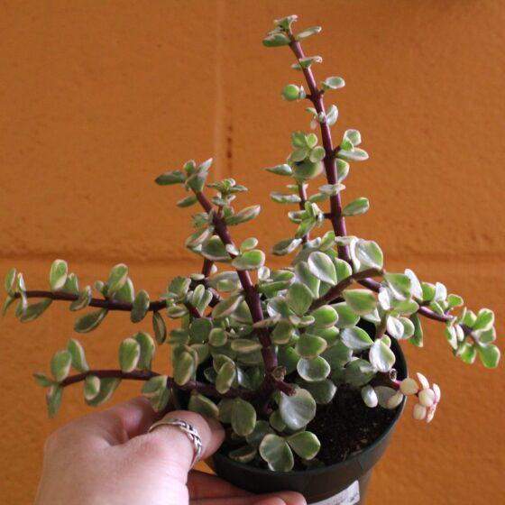 variegated jade medium succulent