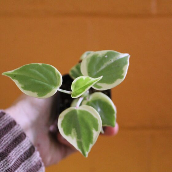 peperomia cupid variegated