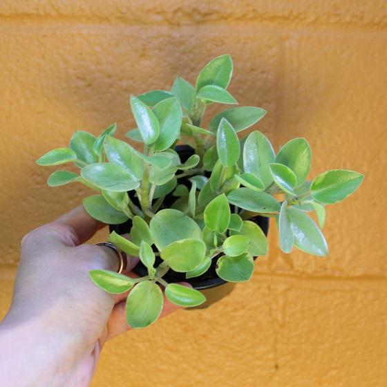variegated astrid peperomia