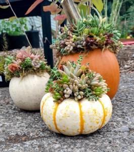 pumpkin-succulent-arrangements