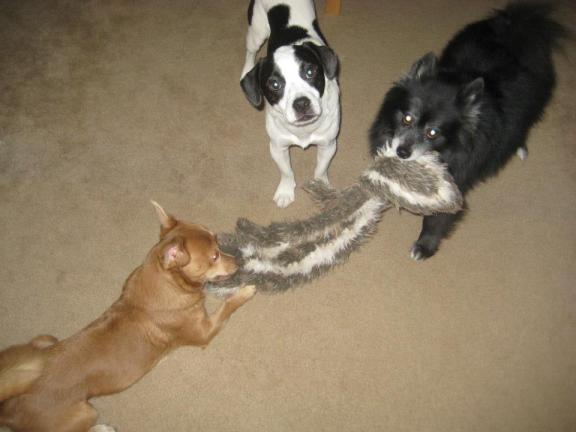 Linus, Niko, and Schooner playing with the roadkill toy!