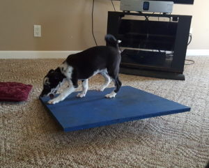 Oswin playing on a wobble board at her breeders home! Her breeder follows our adventures on FB and encourages us to keep in touch!