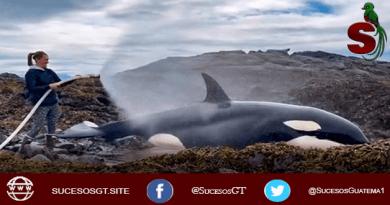 Salvan una orca en Alaska
