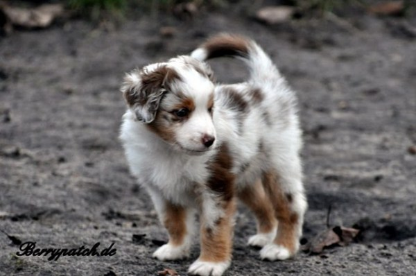bezaubernder Mini Australian Shepherd Welpe in red merle