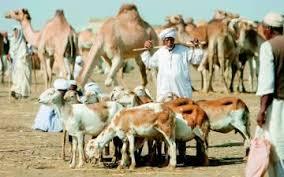 مصر تستورد ثلثي احتياجاتها من الماشية والإبل من السودان