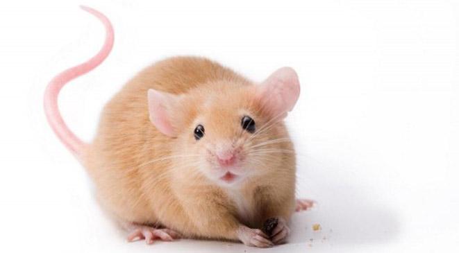 هذا ما قد تفعله الفئران والجرذان بالإنسان