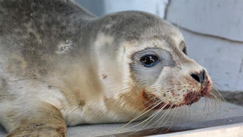 Un pêcheur porte plusieurs coups de pied à un bébé phoque à Dunkerque: l'animal n'a pas survécu