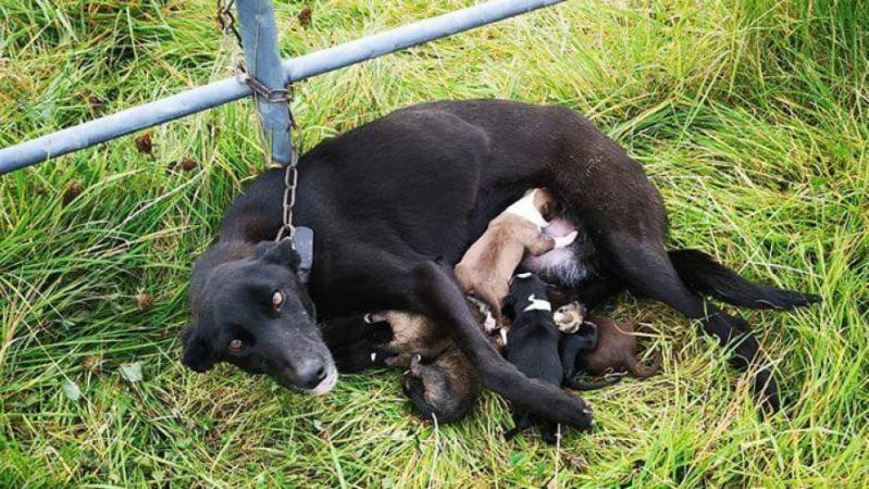 Les photos de la honte: un chien allaitant ses six chiots retrouvé enchaîné à une barrière, abandonné dans le froid, sans eau ni nourriture (photos)