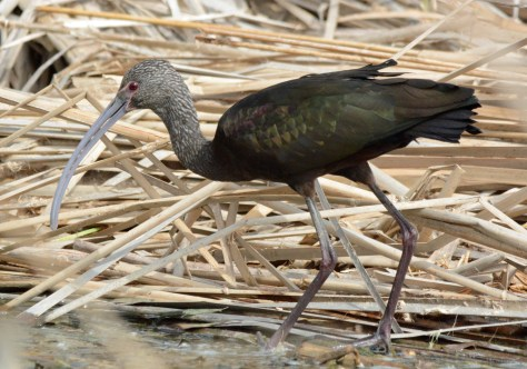 02-15-2014 365 White Faced Ibis