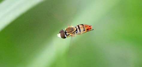 06-06-2014 365 Hoverfly 3