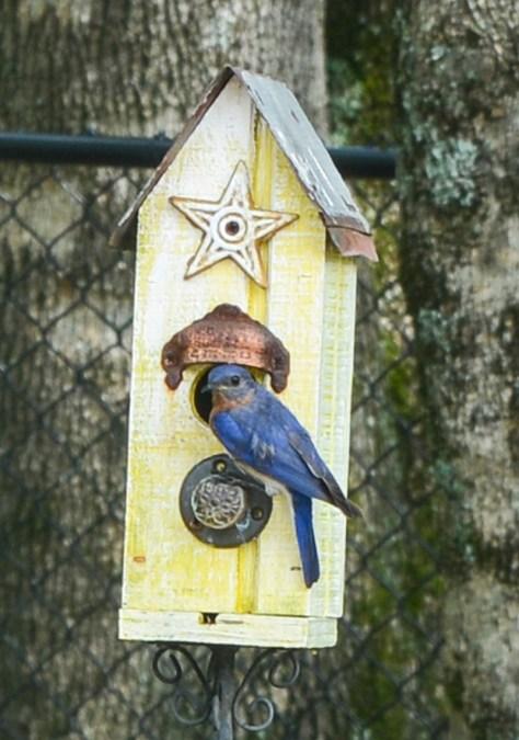 Bama bluebird 2
