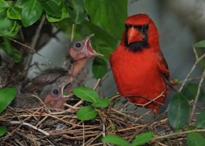 Cardinal-babies-600