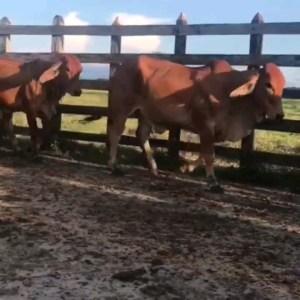Viajes disponibles Brahman Rojo  18 hembras de 320 a 340 kgs