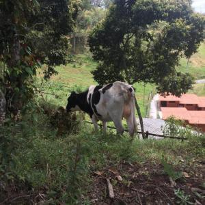 5 Vacas y 2 Terneros