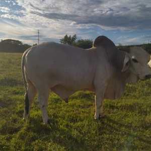 a la venta 1 toro reproductor cebu blanco ,1 torete apto para servicio blanco y un novillo cebu rojo