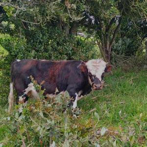 TORO MINI COW