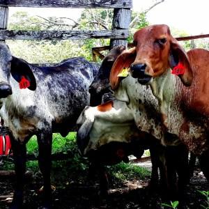 Venta de terneras tipo leche Girolando f1 y 5/8