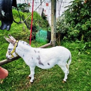 Venta de semen de burrito pony mini donkey