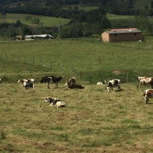 Venta lote vacas y terneras normando. Macho Ayrshire y Holstein rojo.