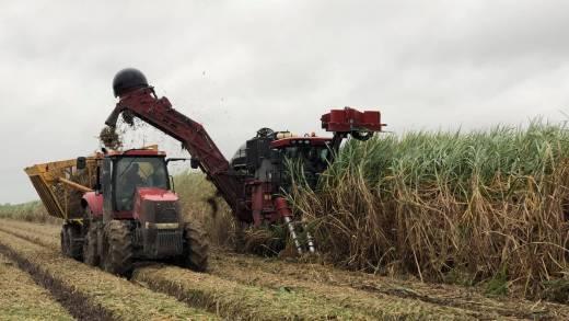 harvesting sugar in louisiana