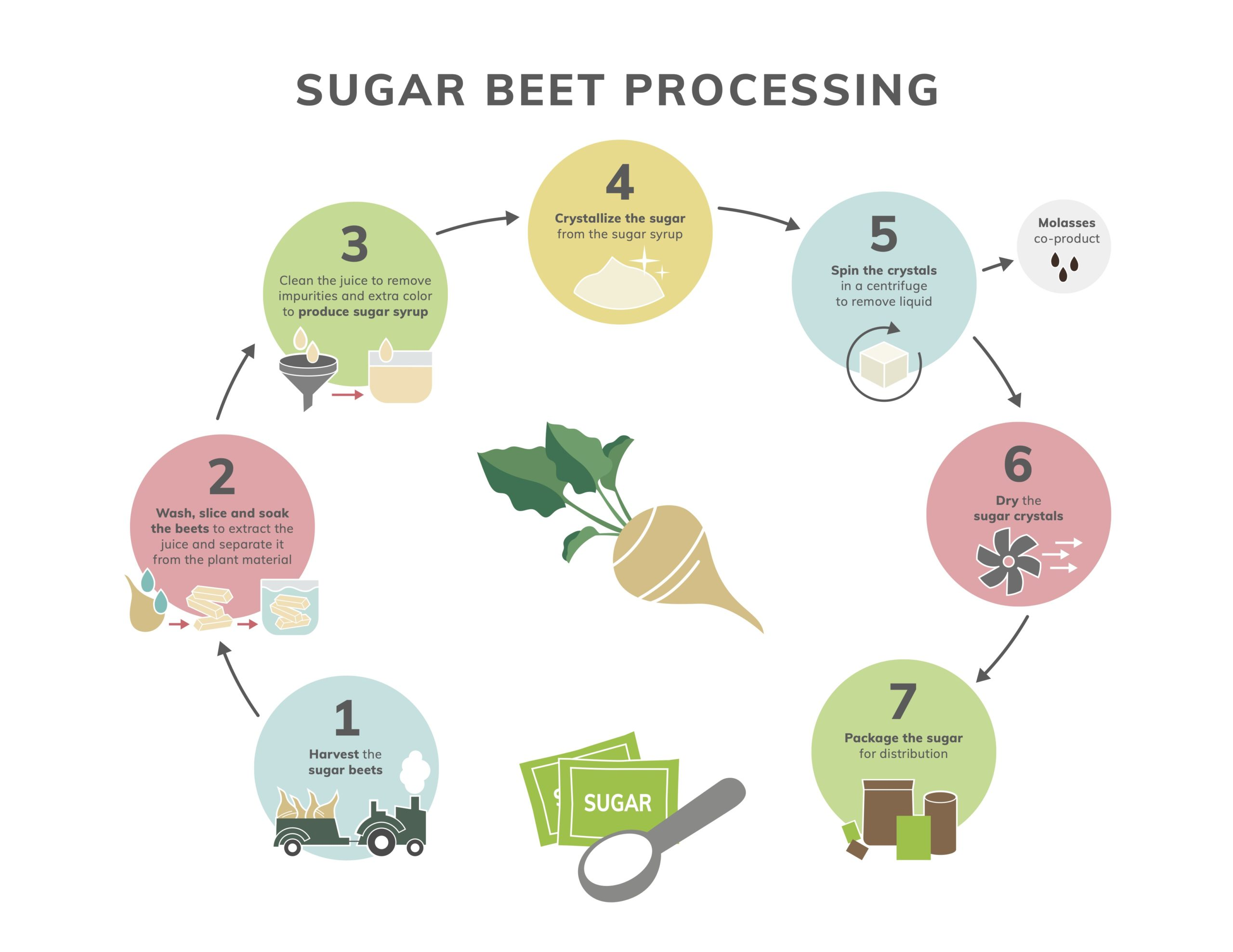 Sugar Beet Processing Infograph