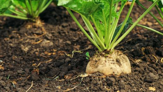Sugar beet root in ground, cultivated crop in the field