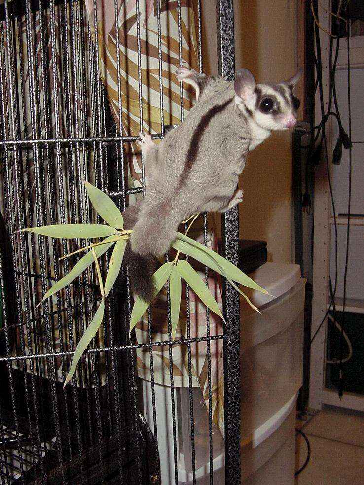 Sugarglider Com Gliderpedia Question How Long Is A
