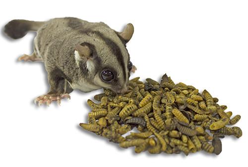 MOSCA SOLDADO NEGRA (BSF):El mejor insecto para los petauros del azúcar.