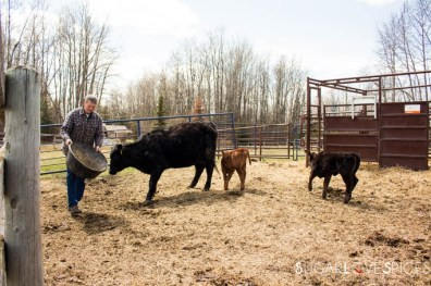 Triple Lyoness farm-cattle
