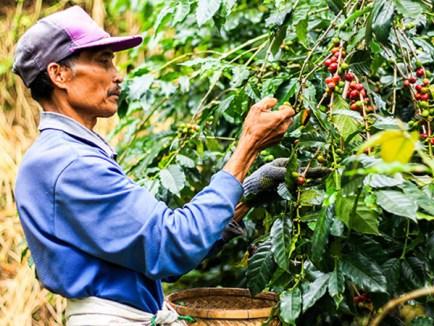 Bali Coffee Plantation | SugiBali Tours | Bali Best Driver | Bali Good Driver