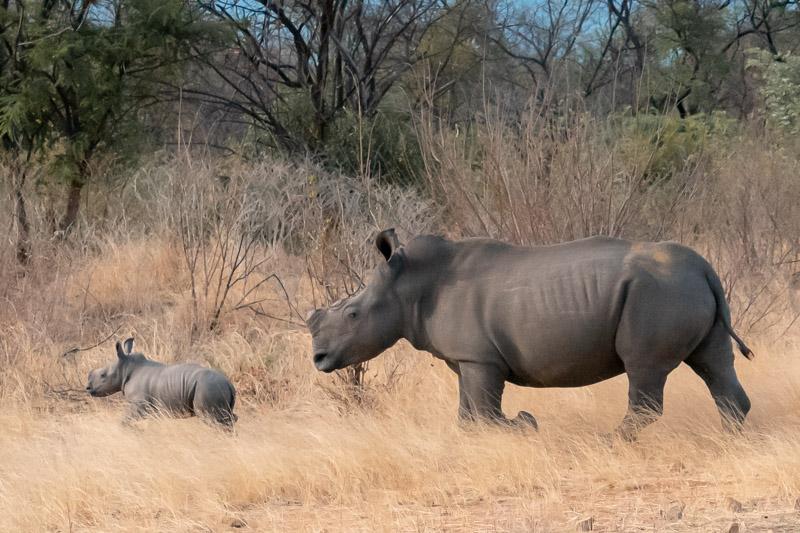 Must do: walking with rhinos in Zimbabwe