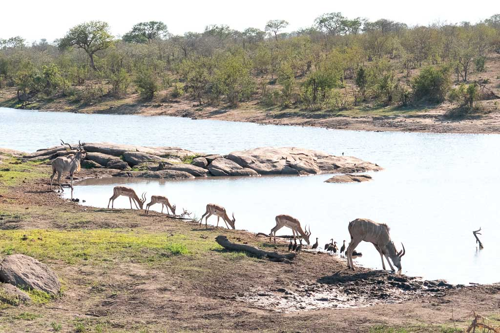 Springboks drinking at a waterhole in Kruger National Park