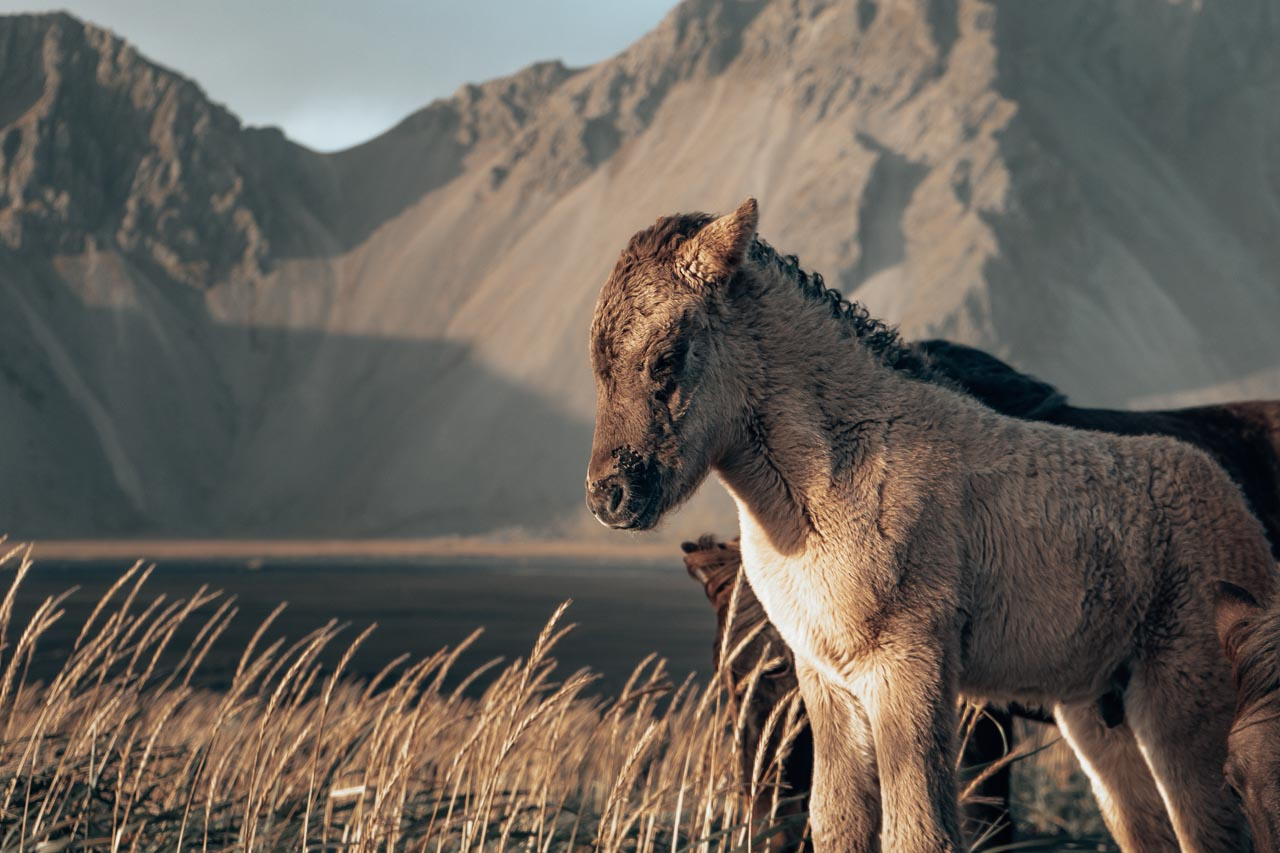 Icelandic horses Stoksness
