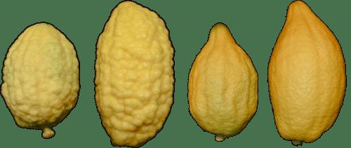 Esrogim/etrogim without pitam