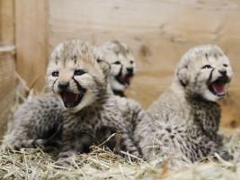 Gepardí skupina se rozrostla o čtyři nová geparďata. Foto (c) Simona Jiřičková
