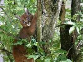 Zrzavá koťata karakalů pojmenuje na dětský den trojice půvabných hereček. Foto (c) Simona Jiřičková