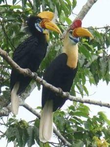 Red-Knobbed Hornbill Sulawesi Birding Tour